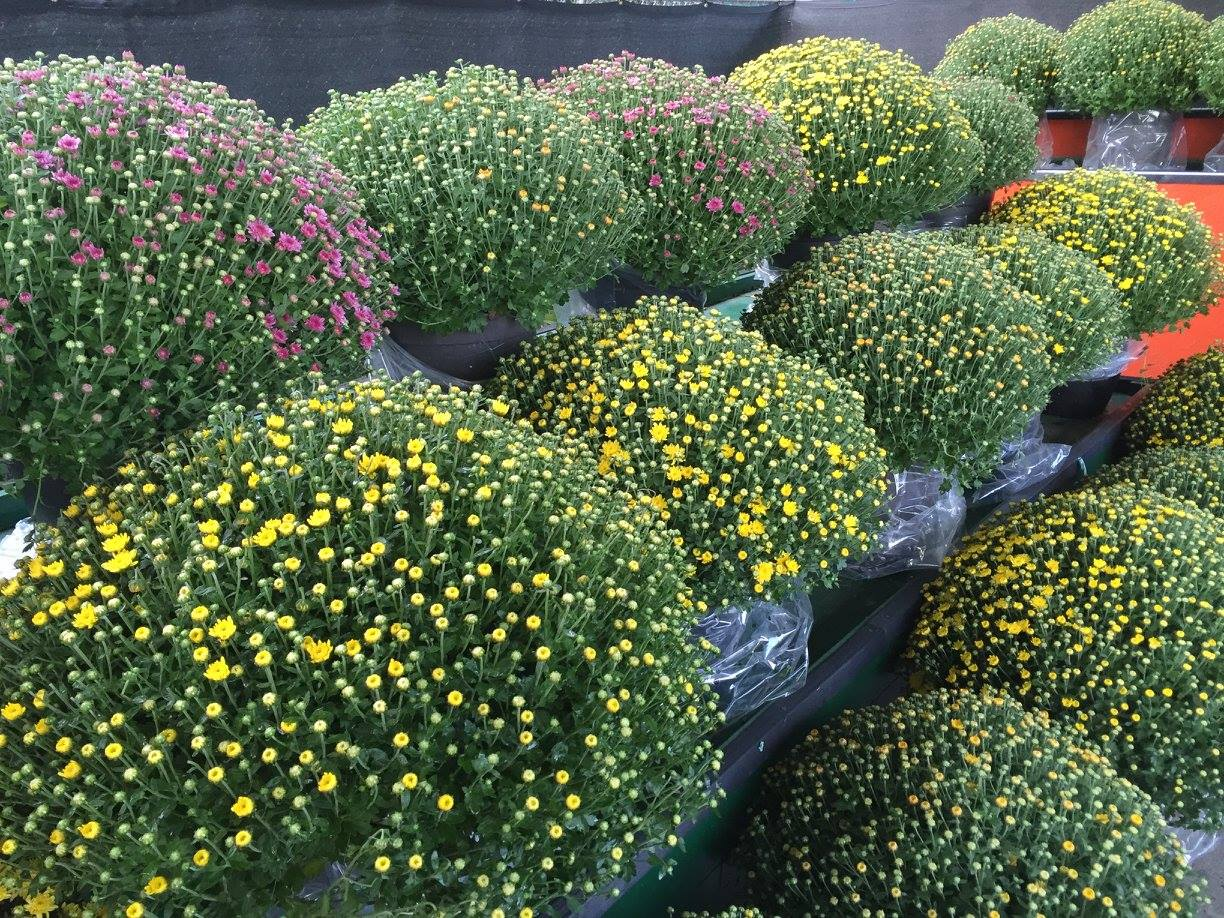 Potted Mums.