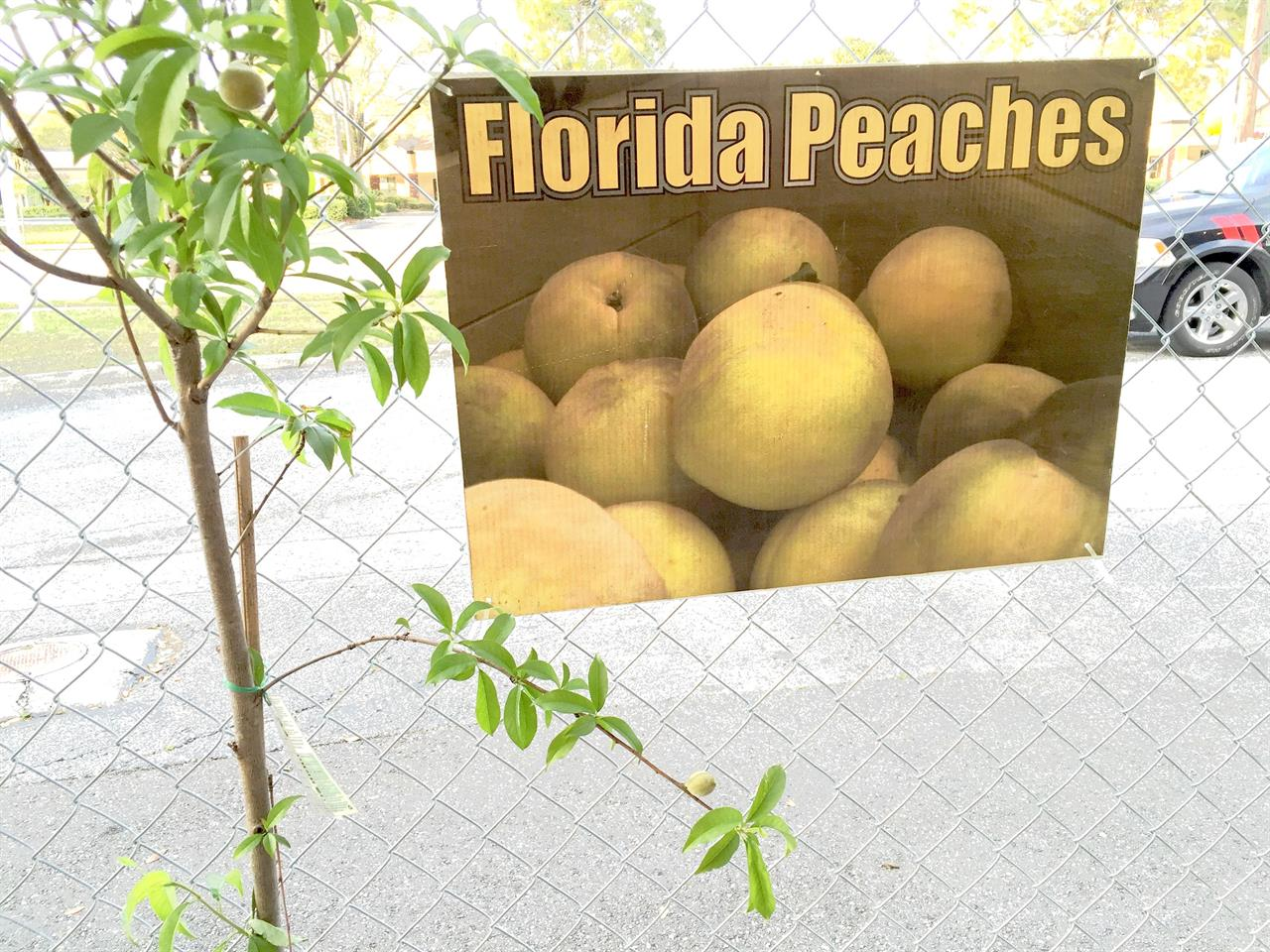 Florida Peach Tree Sale