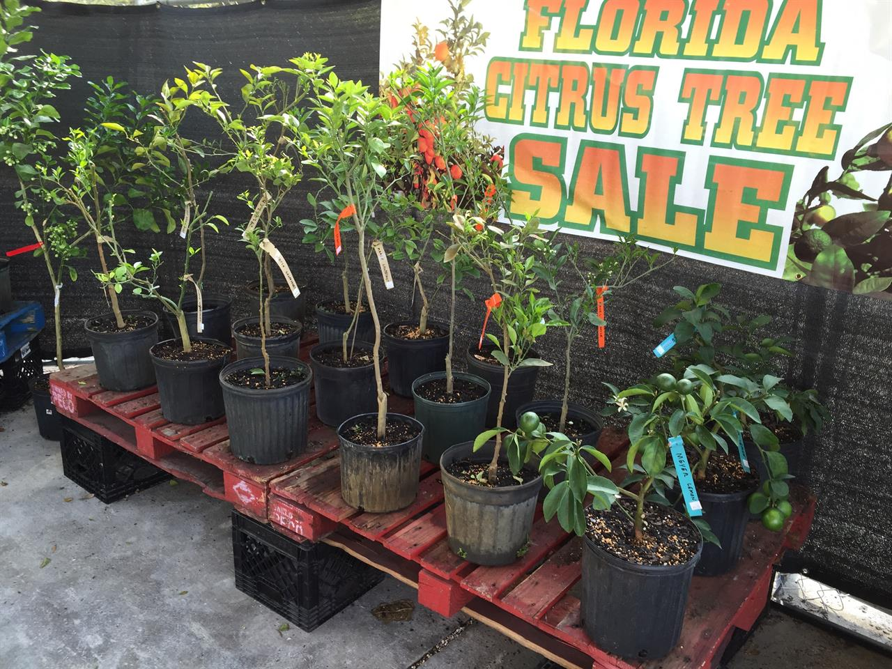 Florida Citrus Tree Sale