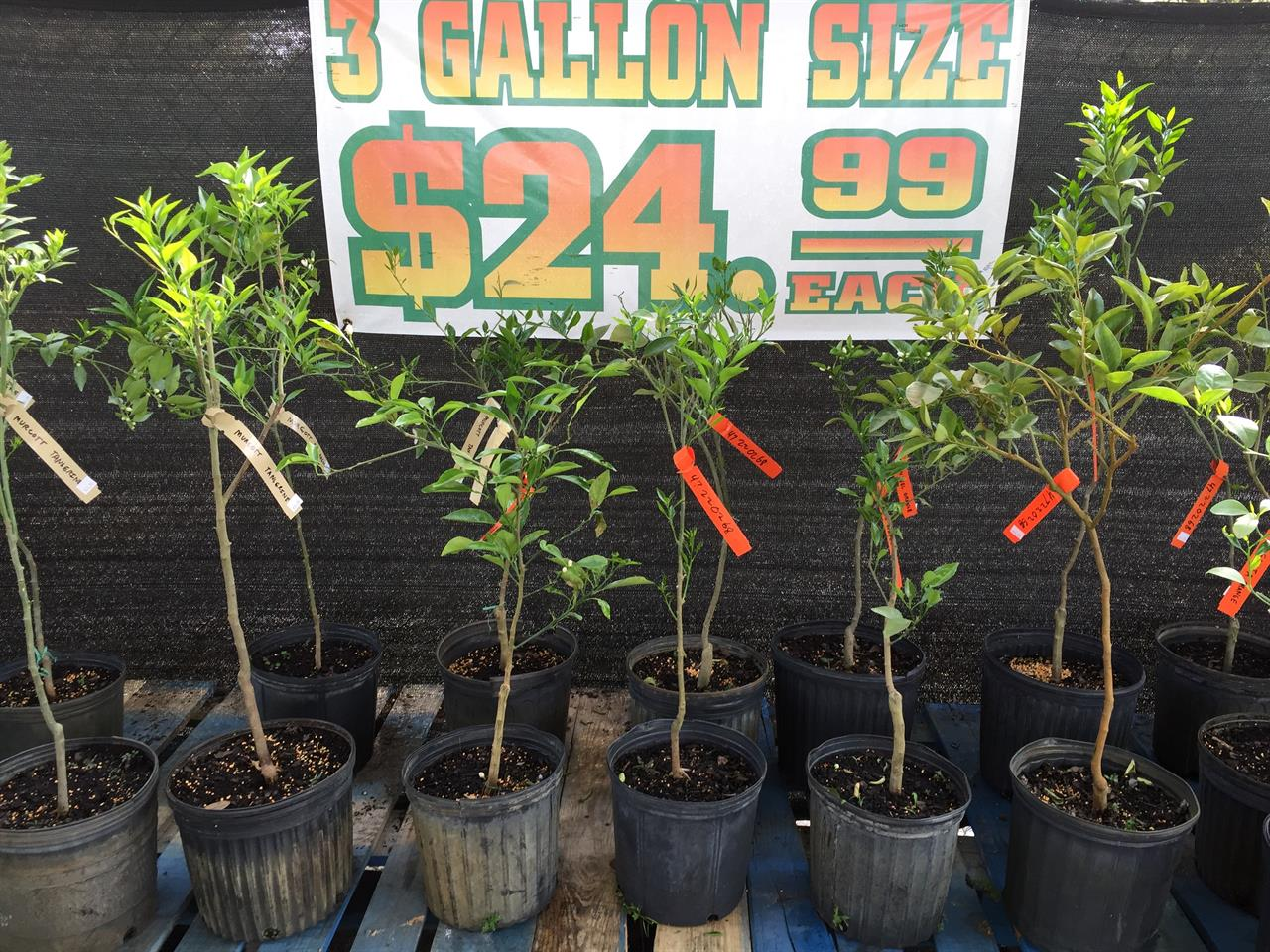 Florida Citrus Tree Sale 2