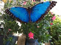 Blue Morpho Butterfly Imprint or Sticker