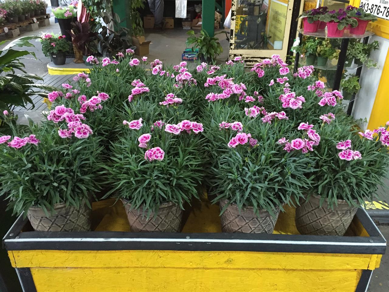 Carnation Plants