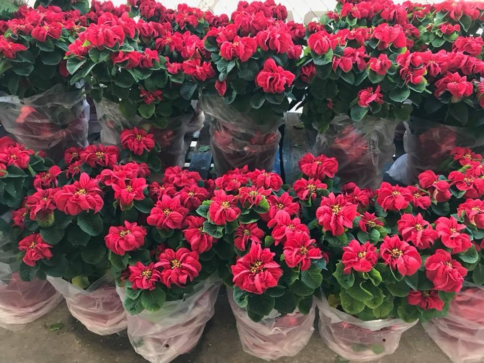 Winter Rose Poinsettias 2