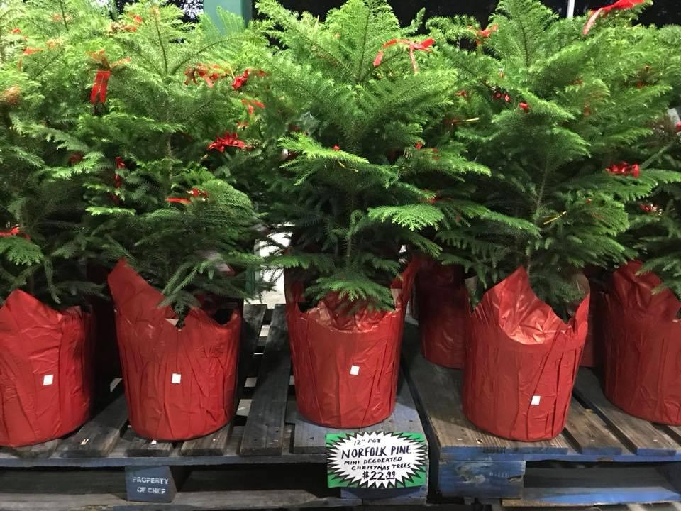 Norfolk Island Pine Trees 2